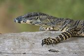 lace monitor goanna walking along tree branch