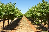 long row of grape vines reaching to the horizon, part of angoves winery at renmark, south australia
