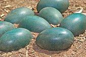 green emu eggs in the dirt