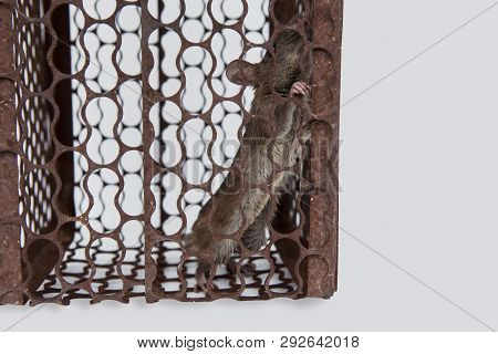 Rat Is Trapped In A