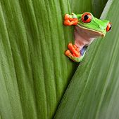 picture of terrarium  - curious red eyed tree frog hiding in green background leafs Agalychnis callydrias exotic amphibian macro treefrog copyspace animal looking in tropical jungle Costa Rica vivid Panama or terrarium - JPG