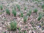 Green Grass And Weeds Growing In Brown Grass Or Lawn poster