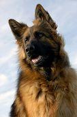 Portrait Of A Purebred German Shepherd poster