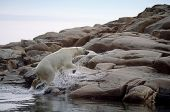 picture of polar bears  - Polar bear emerging from the sea running onto rock island Canadian Arctic - JPG