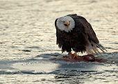 Shouting Bald Eagle Eats Salmon