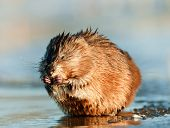 picture of muskrat  - Eating Muskrat  - JPG