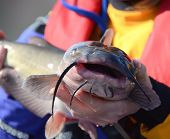 An Offset Head On View Of A Channel Catfish Head Barbels Whiskers Lips And Fins Being Handled By An  poster