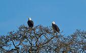 Bald Eagle.