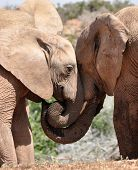 Elephants nuzzling