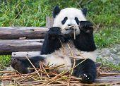 Giant panda bear eating bamboo shoots