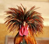 stock photo of fighting-rooster  - A Comical Rooster With A Hippie Hairstyle - JPG
