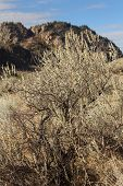stock photo of sagebrush  - Sagebrush growing in the Okanagan Valley near Osoyoos - JPG