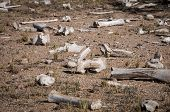 stock photo of cow skeleton  - Scattered dry cow bones on Arizona dessert floor - JPG