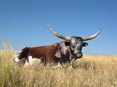 Photo of longhorn holiday.