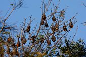 Colony of bats in tree against blue sky