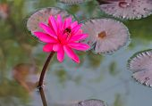 Pink Lotus Blossoms Or Water Lily Flowers Blooming On Pond