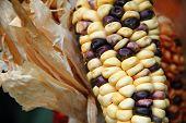foto of zea  - Corn cob with white and black kernels  - JPG