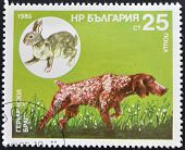BULGARIA - CIRCA 1985: A stamp printed in Bulgaria shows a German Shorthaired Pointer and hare circa