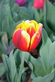 Variegated Red And Yellow Tulip