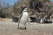 Magellanic Penguin, Punta Tombo, Argentina