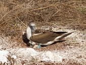Curious Blue Footed Booby Seabird And Chick