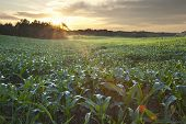 Field Of Young Corn At Sunrise