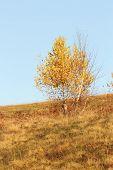 Birch Tree In Fall
