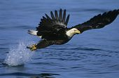 stock photo of fish-eagle  - Bald Eagle catching fish in river - JPG