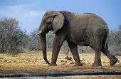 African Elephant (Loxodonta Africana) walking on savannah