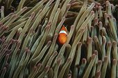 Raja Ampat Indonesia Pacific Ocean false clown anemonefish (Amphiprion ocellaris) hiding in magnific