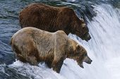 USA Alaska Katmai National Park two Brown Bears standing in river above waterfall