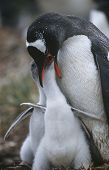 UK Falkland Islands Gentoo Penguin feeding chicks