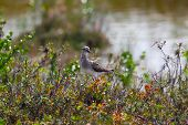 stock photo of taimyr  - Pectoral Sandpiper  walking in taimyr tundra - JPG