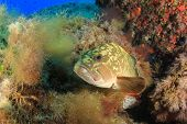 picture of damselfish  - Dusky Grouper  - JPG