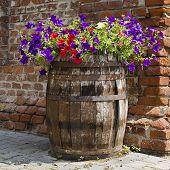 Petunia Barrel Garden