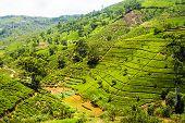 green terrace tea fields in Sri Lanka