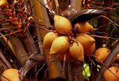 foto of naturist  - Zoomed Close shot  of King Coconut Tree - JPG