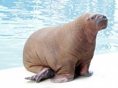 walrus on water background