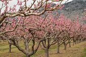 Peach Orchard Blossoms, Osoyoos