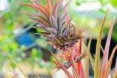 foto of bromeliad  - Closeup of beautiful tropical pink bromeliad  .