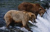USA Alaska Katmai National Park two Brown Bears catching Salmon standing in river above waterfall si
