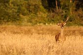 Wild deer at sunset