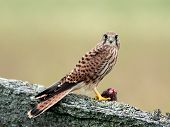Kestrels Catch (Falco tinnunculus)