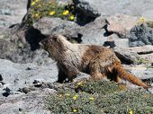 Hoary Marmot with Flowers