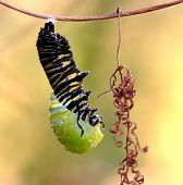 stock photo of chrysalis  - Monarch Caterpillar sheds its skin to expose a beautiful chrysalis - JPG