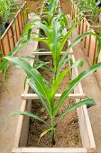 Experiment  Growing Corn