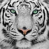 picture of close-up  - big white tiger with blue eyes close - JPG