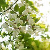 foto of locusts  - Backlit flowers of the Black Locust tree  - JPG