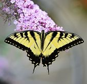 foto of butterfly-bush  - Eastern Tiger Swallowtail Butterfly On A Purple Butterfly Bush - JPG