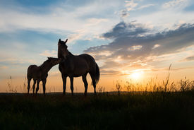picture of colt  - foal and mare  - JPG